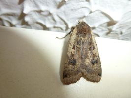 Large Yellow Underwing Moth Study Wall 3 by SrTw