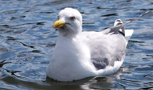 Larus canus by emshh