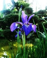 Japanese Tea Garden: Iris by pixelfish