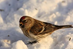 Common Redpoll by Sagittor