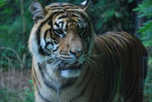 tiger 3.15 by meihua-stock