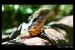 Dragon Lizard by matt-chops