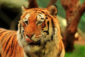 Stock: Hungry Tiger by Celem