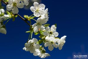 Cherry blossom, dark blue sky by kochmanmartin