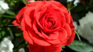 Red rose by SP4RTI4TE