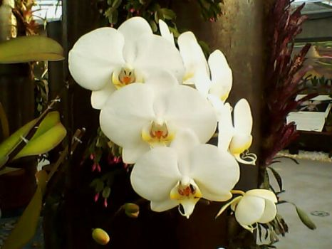 Orchid by Beatrisse058