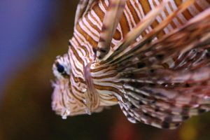 Lionfish - I by froggynaan