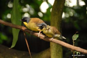 Laughingthrush parent and child by meihua