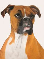 Buster Boxer by RachelsPetPortraits