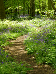 Walk Through the Bluebells by feel-inspired