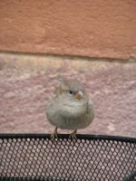 Old Town's sparrow by pekauppi