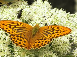Butterfly on a flower2 by Korolevatumana