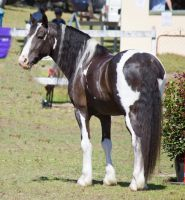Stock   Canungra Show 2012 105 By Fillyrox-d5ukc9e by suuslovertje