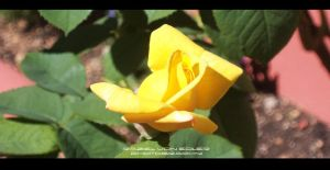 Yellow Rose by RazielMB-PhotoArt