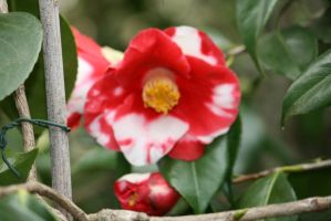 awesome camellia 2 by ingeline-art