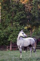 Kosta Grey Arabian 5 by Lazzeh