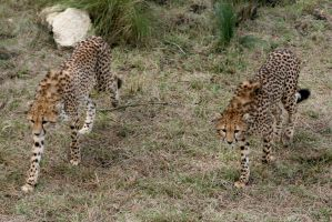 Prowling Cheetas by Kippenwolf