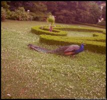 Peacock in the castle garden by brittanyandalvin