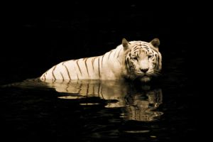 White Tiger II by raven9999