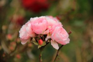 February roses 4 by yasminstock