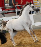 White arabian /red patches/ 4 by xxMysteryStockxx