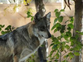 Nov1: Mexican Wolf 4 by FamilyCanidae