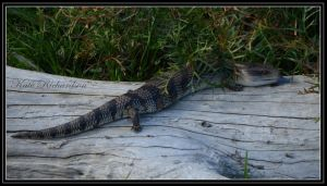 Blue tongue lizard 2 by Purple-Dragonfly-Art