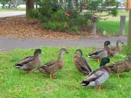 Ducks on grass by AnyaAllyn