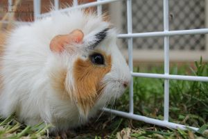 Guinea-pig meets Mosquito by AmyTak