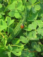 Clovers and Ladybugs. by Aikoloid