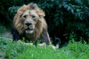 asian lion by sarabil1