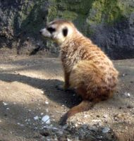 Meercat 12 by my-dog-corky