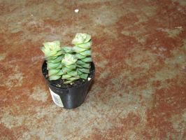 String of Beads - Crassula perforata by TheCactiForum