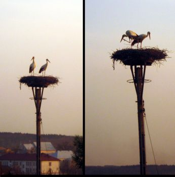 Pair of storks by justta