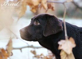 Baby Labrador by Breed-Photography