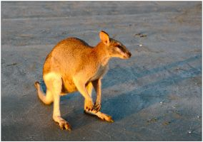 Wallaby at sunrise 1 by wildplaces