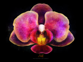 + The Pink Moth Orchid + by LimskArt
