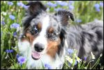 Australian shepherd in cornflower-field by Eliwyn