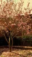Magnolia by Jesuslovechild