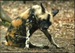 Playful Wild dog by PBPhoenix
