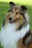 Collie smile by SaNNaS