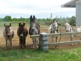 Miniature Donkey Line Up by cr-krinkles