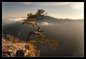 Ancient pine by Bruinen