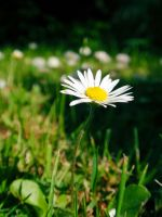 Daisy by Smile-Denise