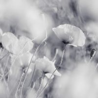 White poppy.. by AliceSKF