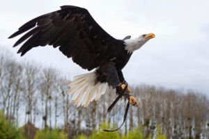 0560 - Bald Eagle by Jay-Co