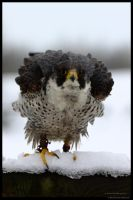 Peregrine Rouse by In-the-picture