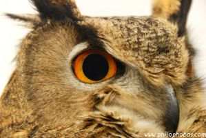 eagle owl III by Philophobos