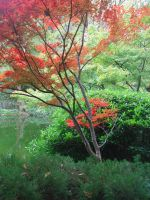 Japanese Maple Tree by lockstock