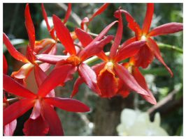 Red Orchids by eosthilas